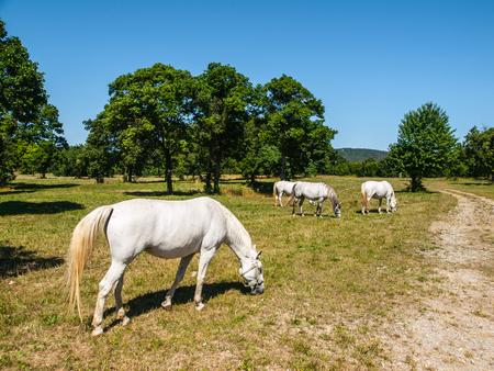 lipizzan horse: White Lipizzaner Horses on pasture, Lipica, Slovenia
