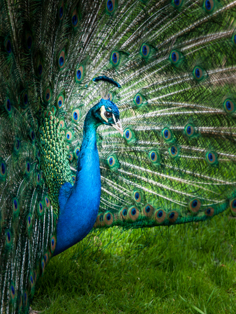 Close-up portrait of peacock with spread feathers. Low key image.