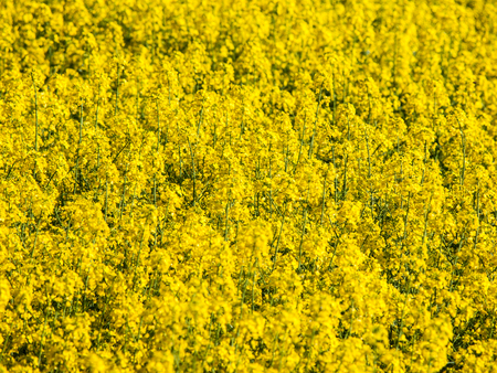 oil rape: Yellow field of rape plant, used for making canola oil or adding in biofuel, yellow background Stock Photo