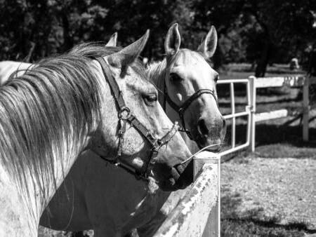 lipizzan horse: Portrait of two Lipizzaner stallions standing behind fence, Lipica, Slovenia
