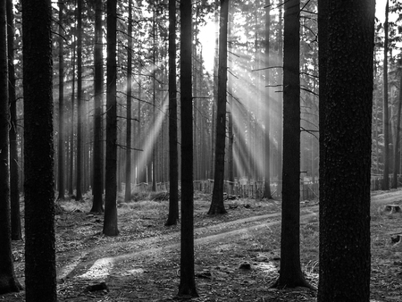 greyscale: Bright sun rays shining through spruce forest. Black and white image.