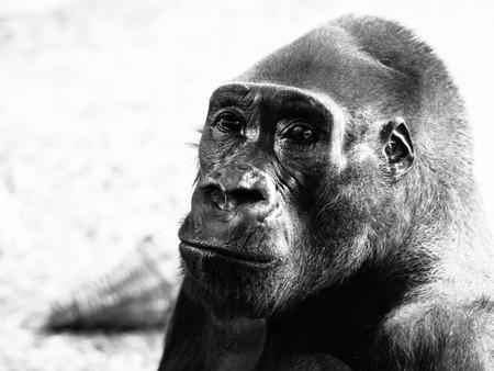 lowland: Close-up profile of lowland gorilla, Gorilla . Black and white image.