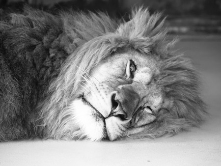 one eye: Tired male lion lying on a ground with one eye open. Black and white image.