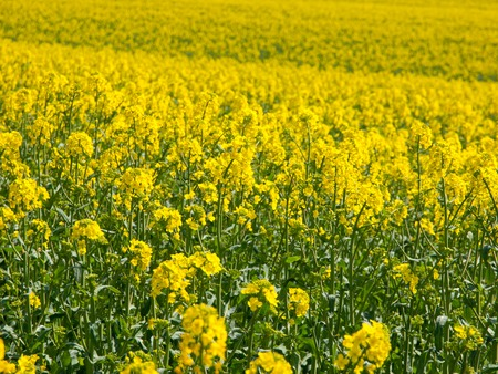 canola plant: Yellow field of canola plant, used for making canola oil or adding in biofuel, yellow background