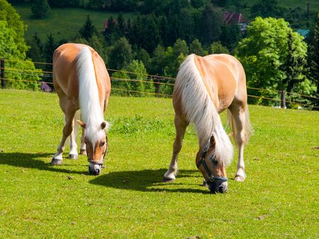 palomino: Two palomino horses grazing on a green pasture