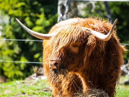 highland: Scottish highland cow with long horns eats in the farm