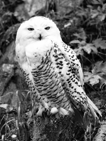 snowy owl: Snowy owl, Bubo scandiacus, sitting on the tree stump . Black and white image.