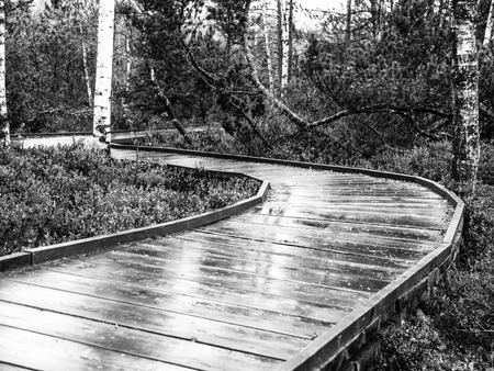 black moor: Narrow wooden path in the birch forest. Planks are wet and shiny after rain. Chalupska moor in Sumava National Park, Czech Republic . Black and white image.