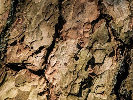 bark texture: Dry cracked bark texture of pine tree. Natural detail background. Stock Photo