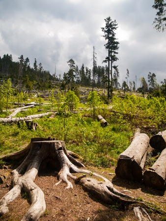 devastating: Windfall in coniferous forest after strong devastating strom