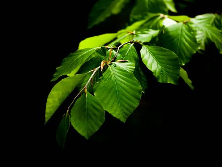 fagaceae: Green lush beech leaves on dark background. Spring theme. Shallow depth of field.