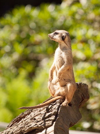 Meerkat sitting upright on the tree trunk and watching around on alert. Stock Photo
