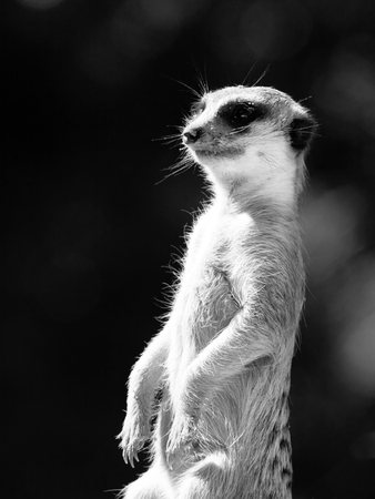 Meerkat as a guard on alert. Small african carnivore. Black and white image.