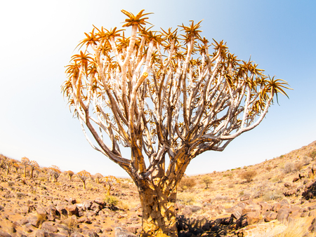 quiver: Quiver tree, aka aloe tree or kokerboom, in the dry rocky desert landscape of Quiver tree forest near Keetmashoop, southern Namibia, Africa Stock Photo