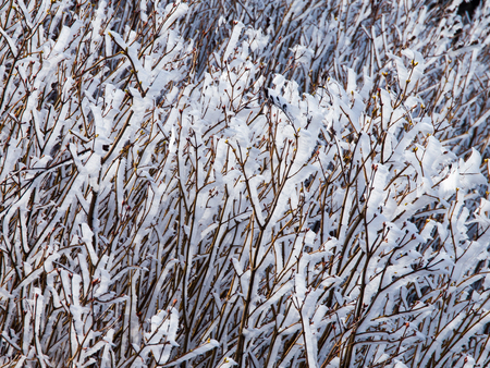 accretion: White icy hoarfrost rime on the branches. Autumn or winter theme with ice accretion.