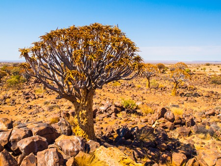 dichotoma: Quiver tree, aka aloe tree or kokerboom, in the dry rocky desert landscape of Quiver tree forest near Keetmashoop, southern Namibia, Africa Stock Photo
