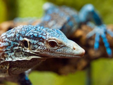 lizard in field: Vista detallada de Blue Tree lagarto monitor, Varanus macraei, sentado en la rama Batanta Island, Indonesia. Poca profundidad de campo de tiro.
