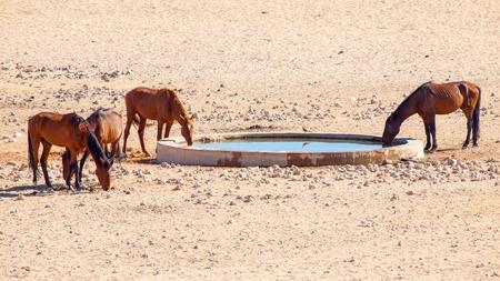 equid: The Namib Desert feral horses herd at waterhole near Aus, Namibia, Africa.