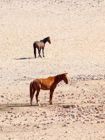 caballo bebe: The Namib Desert feral horses herd at waterhole near Aus, Namibia, Africa.