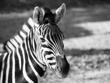 chapmans: Close-up portrait of Chapmans zebra, Equus quagga chapmanni, in black and white