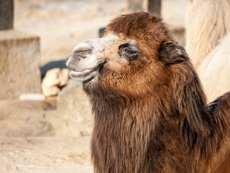 Close-up portrait of Domestic Bactrian Camel, Camelus bactrianus ferus, with long brown fur lying on the ground, native to the steppes of Central Asia