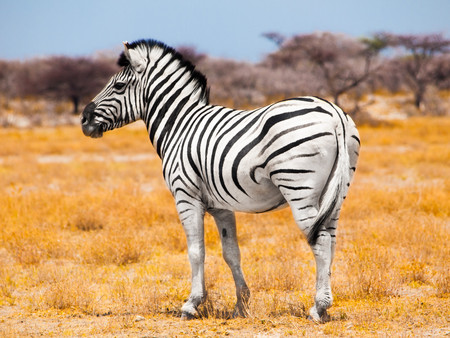 equid: Zebra standing in the middle of dry african grassland, Etosha National Park, Namibia, Africa-
