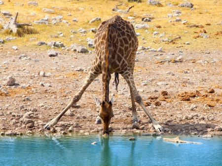 Thirsty giraffe drinking from waterhole in typical pose with wide spread legs, Etosha National Park, Namibia, Africa. 免版税图像 - 105663995
