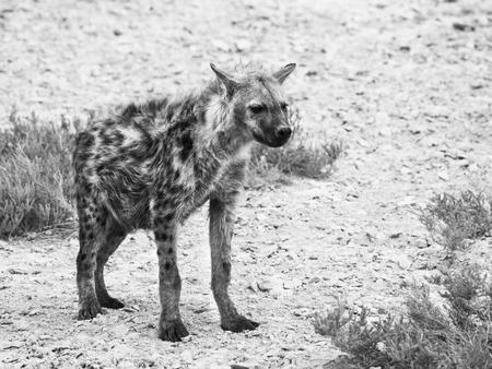 Hyena in african grassland of Etosha National Park, Namibia, Africa. Black and white image. Stock Photo