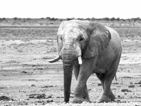 pozo de agua: Old huge african elephant standing in dry land of Etosha National Park, Namibia, Africa.