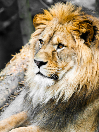 Big male lion portrait. Profile view of jungle king with huge bushy mane.