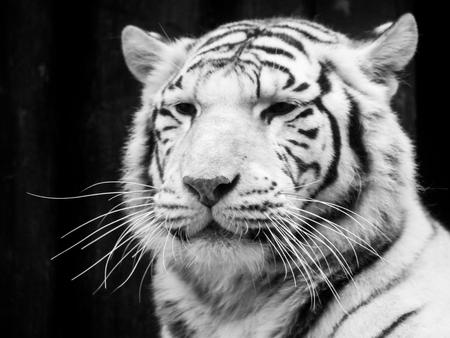 White tiger portrait. Black and white image.