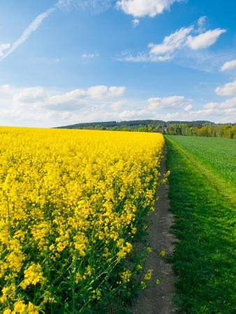 Field of rapeseed, aka canola or colza. Rural landscape with country road, green alley trees, blue sky and white clouds. Spring and green energy theme, Czech Republic, Europe. Stock Photo