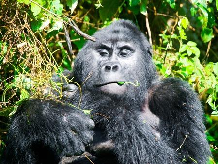 Adult male mountain gorilla - silverback - eating green leafs. Bwindi Impenetrable Forest, Uganda, Africa.