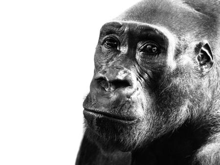 Close-up profile of lowland gorilla, Gorilla gorilla, isolated on white background. Black and white image.