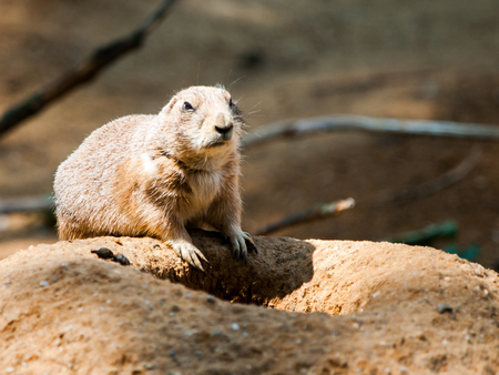Prairie dog rodent on a dry dusty ground. USA, North America.