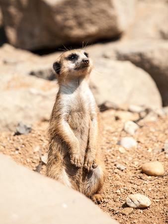 Meerkat, suricata suricatta, alert on guard on rocky and dry ground, South Africa.