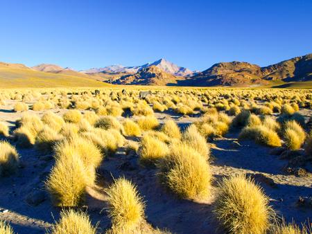 High peaks and typical grass clumps in Cordillera de Lipez, Andean Altiplano, Bolivia, South America.
