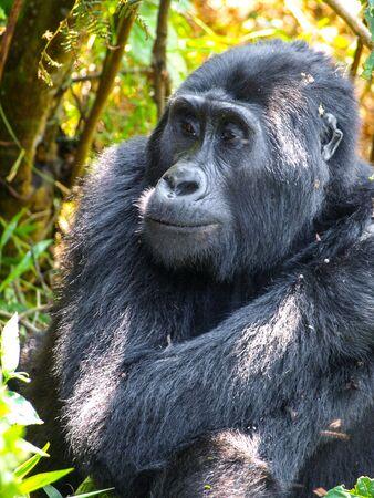 Cute female gorilla in natural habitat, Uganda, Africa