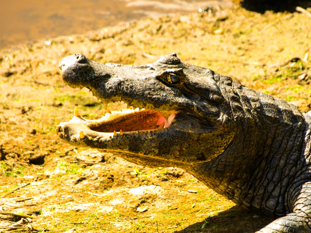 Alligator with open mouth, close-up profile view, Amazonia Stock Photo