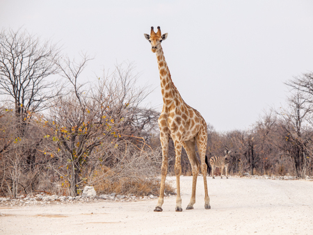 Young giraffe standing on the dusty road, Etosha National Park, Namibia, Africa. Stock Photo