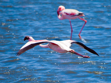 Flamingo in flight on blue water background, Walvis Bay, Namibia, Africa.