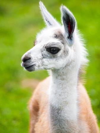 babies: Baby llama portrait. Cute south american mammal.