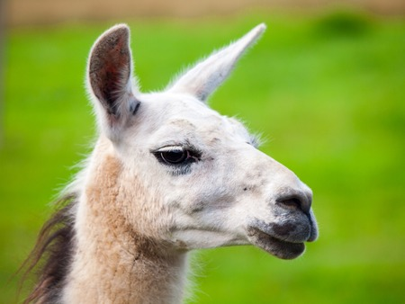 Llama portrait. South american mammal. Close-up view with green grass background.