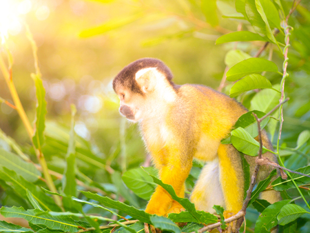 Squirrel monkey with yellow fur hidden in the green bush of Amazonia, South America. Stock Photo