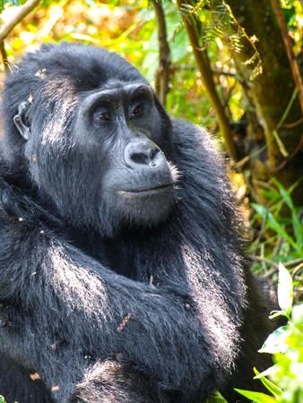 Portrait of adult female eastern gorilla, Gorilla beringei, in natural habitat. Critically endangered primate. Green jungle forests of Bwindi Impenetrable National Park, Uganda, Africa. Stock Photo