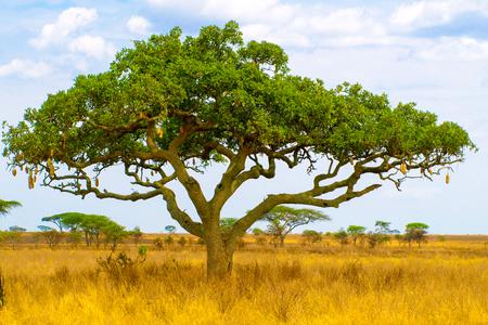 Kigelia、別名ソーセージ ツリーの乾燥サバンナ風景、セレンゲティ国立公園、タンザニア、アフリカで
