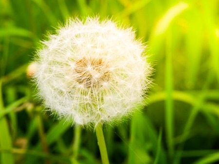 Faded dandelion with fluffy white seeds in the green meadow.