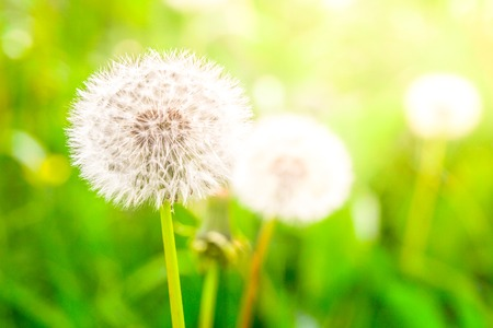 Faded dandelions with fluffy white seeds in the green meadow.