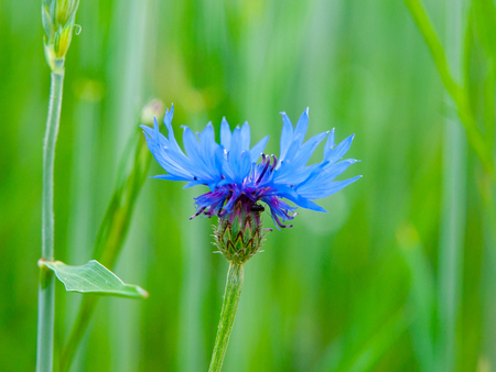 Detailed view of blue cornflower, Centaurea cyanus, on spring green field background bokeh. Stok Fotoğraf