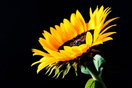 Sunflower isolated on black background. Low key image. Imagens